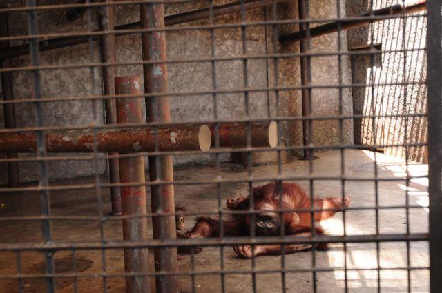 Dans la nature, les orangs-outans passent la majeure partie de leur temps dans les arbres. La mère élève son enfant durant au moins trois ans, période durant laquelle ils sont quasiment soudés l'un à l'autre, maman enseignant à bébé ce qui est bon à manger et plein d'autres choses utiles pour sa vie d'orang-outan. Ici, dans un zoo à Bangkok. ©Jo-Anne McArthur, We Animals.