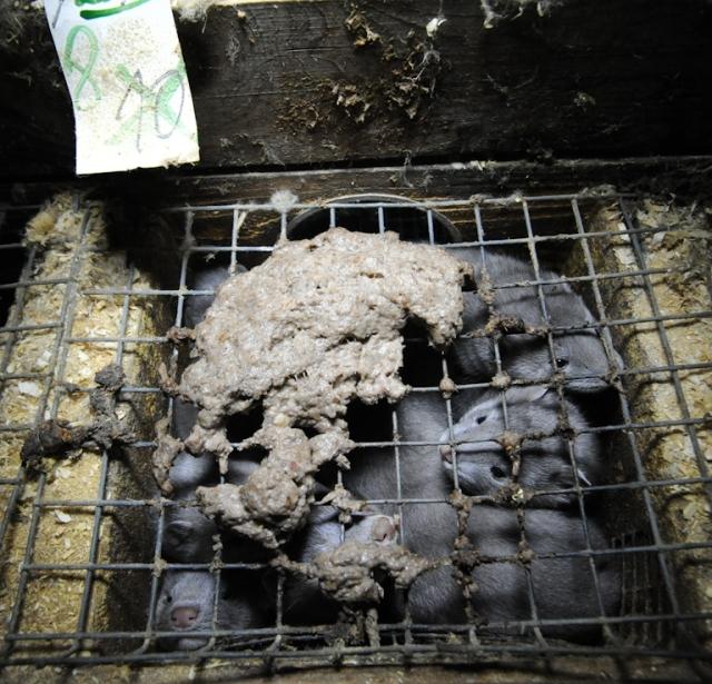 Ferme d'élevage de visons. Stress, confinement, surpopulation et cannibalisme pour faire des manteaux de pouel. ©Jo-Anne McArthur, We Animals.