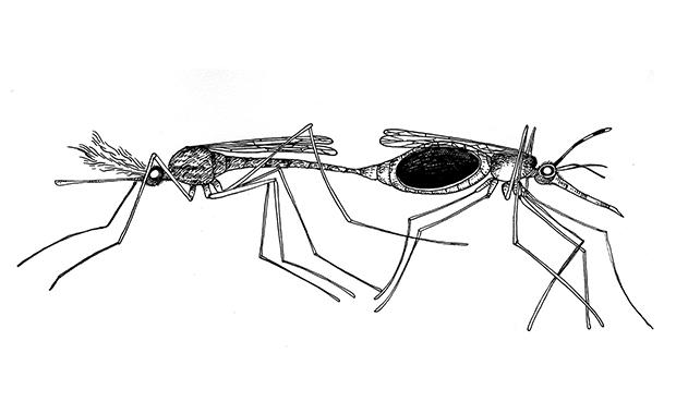 Deux moustiques qui travaillent fort pour peupler la Terre. À gauche, le mâle, à droit, la femelle.